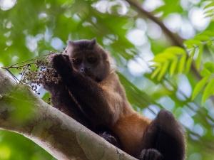 Gehaubter Kapuziner oder Guianan Brown Capuchin (Sapajus apella)
