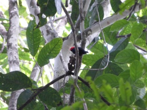 Red-headed Manakin (Pipra rubrocapilla)
