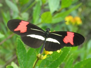 3 Nymphalidae Heliconius spec. - Max Oly_a